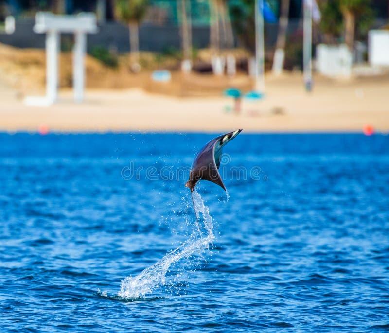 Le rayon de Mobula saute à l'arrière-plan de la plage de Cabo San Lucas mexico Mer de Cortez photos stock