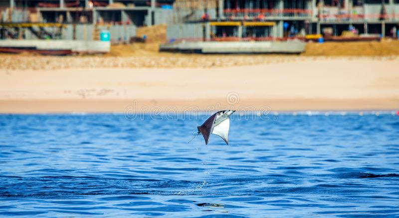 Le rayon de Mobula saute à l'arrière-plan de la plage de Cabo San Lucas mexico Mer de Cortez images libres de droits