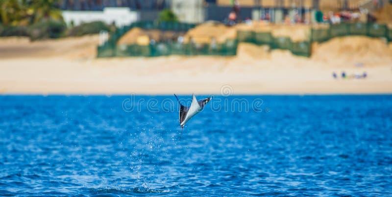 Le rayon de Mobula saute à l'arrière-plan de la plage de Cabo San Lucas mexico Mer de Cortez image libre de droits