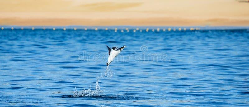 Le rayon de Mobula saute à l'arrière-plan de la plage de Cabo San Lucas mexico Mer de Cortez photographie stock