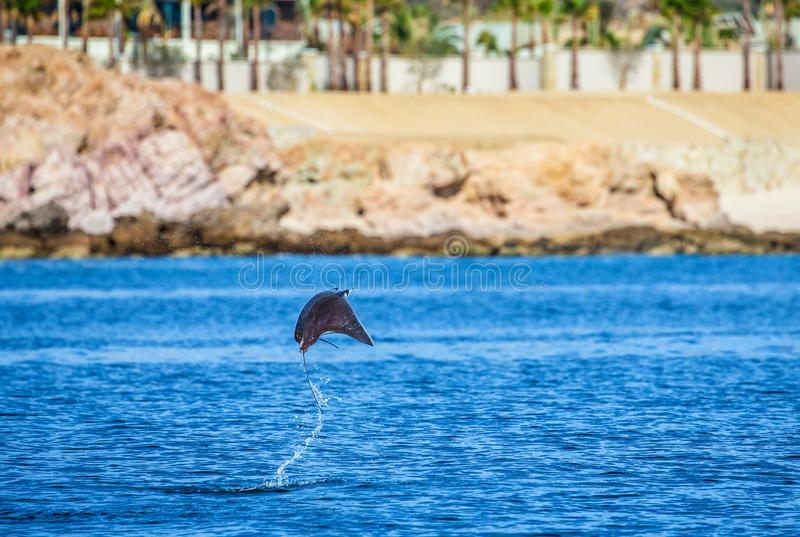 Le rayon de Mobula saute à l'arrière-plan de la plage de Cabo San Lucas mexico Mer de Cortez photo stock