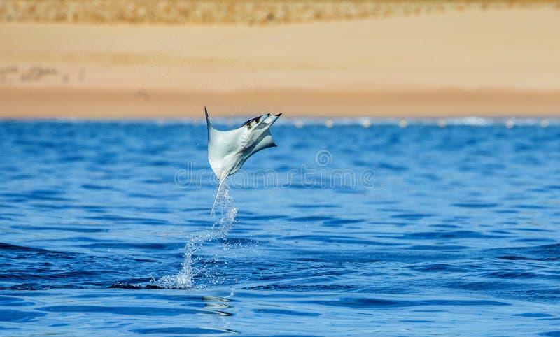 Le rayon de Mobula saute à l'arrière-plan de la plage de Cabo San Lucas mexico Mer de Cortez images stock