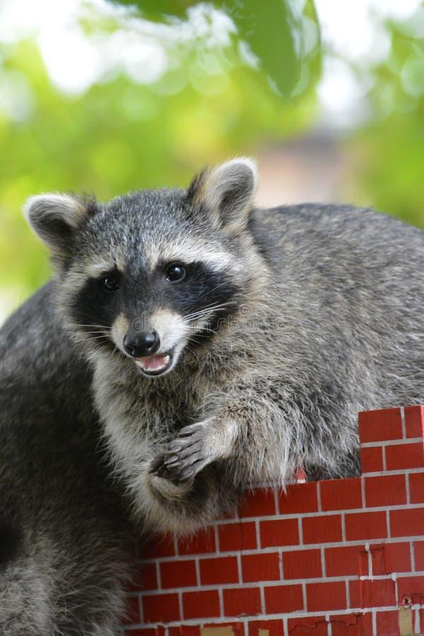 Le regard aigu et intelligent d'un ours de raton laveur images stock