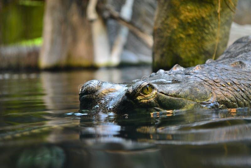 Le regard d'un crocodile de dessous l'eau photographie stock libre de droits