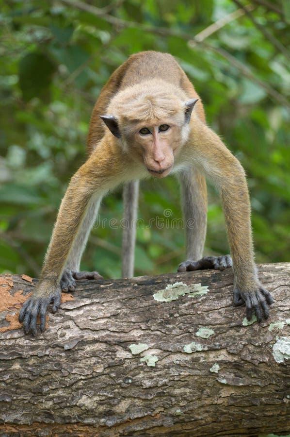 Le regard du singe photo stock
