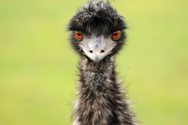 Le regard fixe d une autruche
