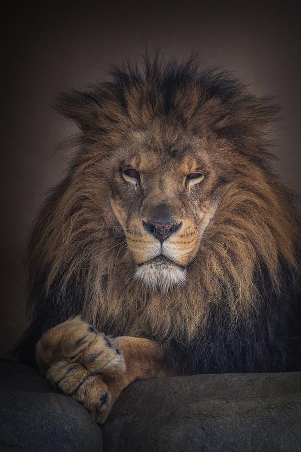 Le regard fixe du lion photos stock