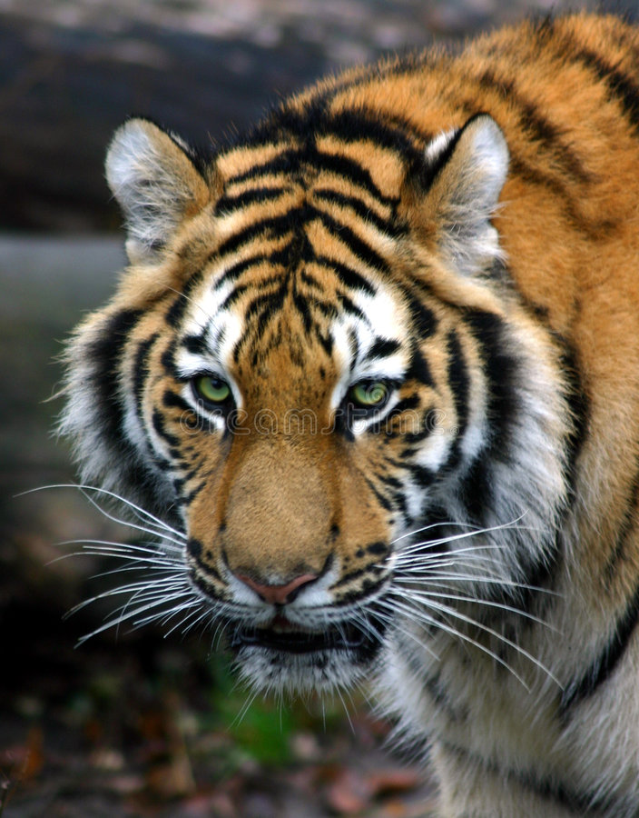 Le regard fixe du tigre photo libre de droits