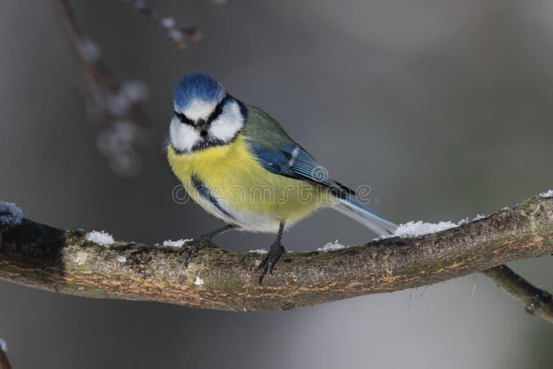 Le regard magnifique d'une mésange bleue était perché sur une branche image stock