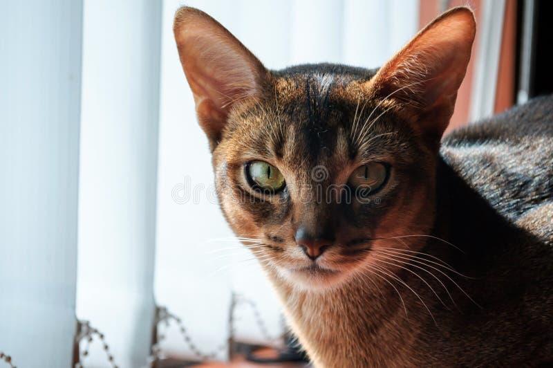 Le regard perspicace du chat abyssinien image libre de droits