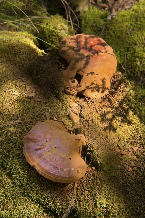 Le reishi de cigûe répand avec les spores brunes, Sunapee, nouveau Hampshi photographie stock libre de droits