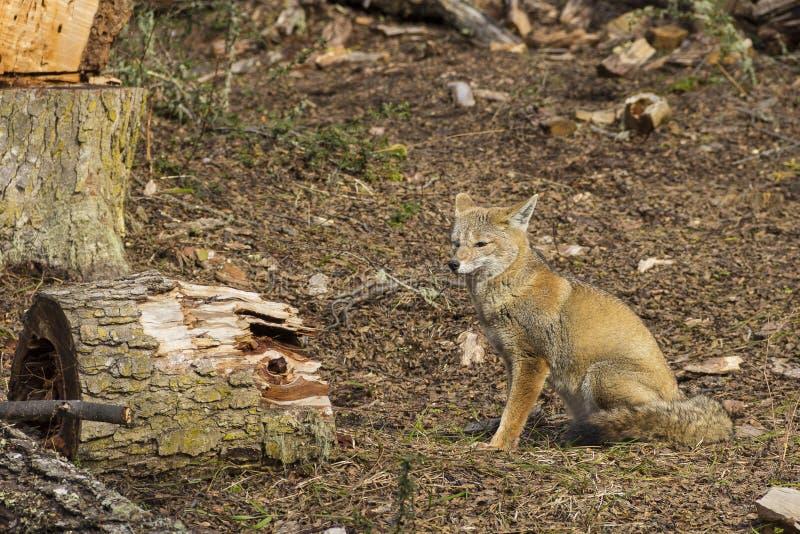 Le renard image stock