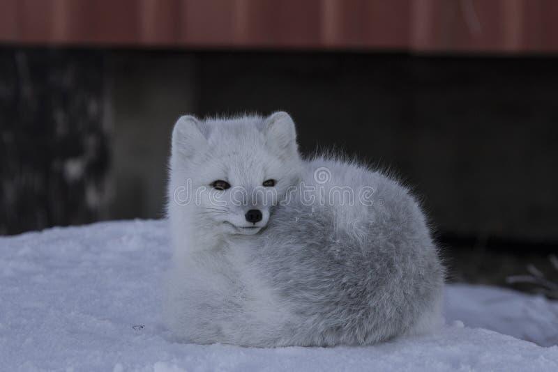 Le renard arctique, Lagopus de Vulpes, traînant en ressort neigeux conditionne photo stock