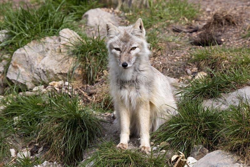 Le renard de Corsac, corsac de Vulpes est renard judicieux images libres de droits