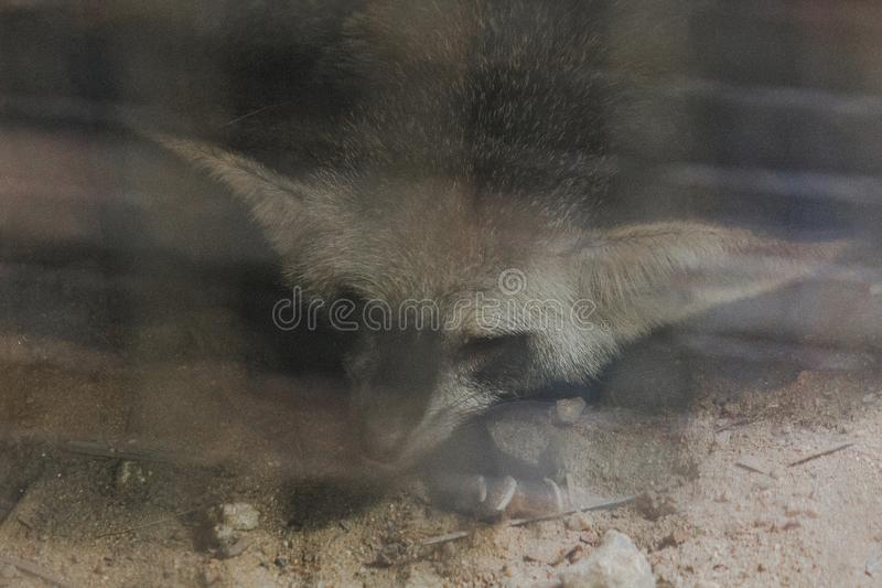Le renard de Fennec dans la cage dort photos libres de droits