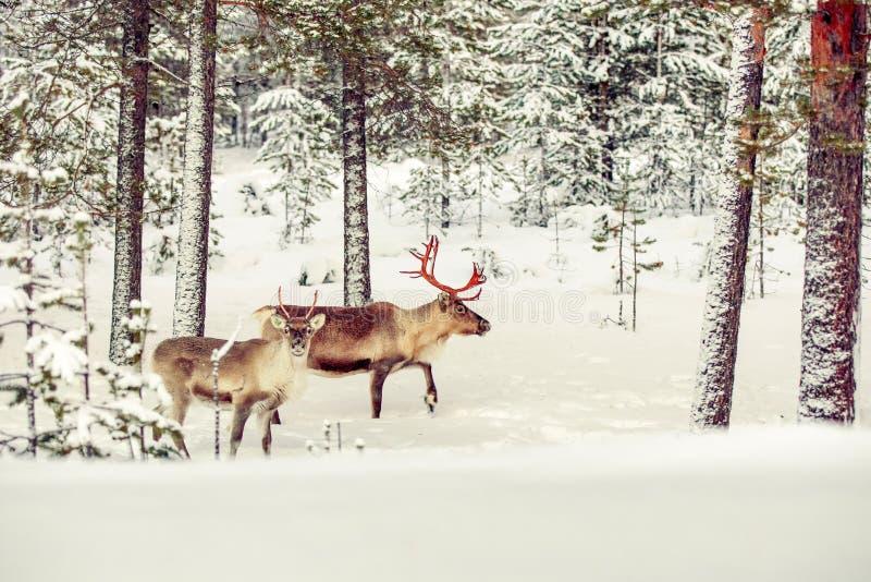 Le renne deux dans la neige a couvert la forêt images stock