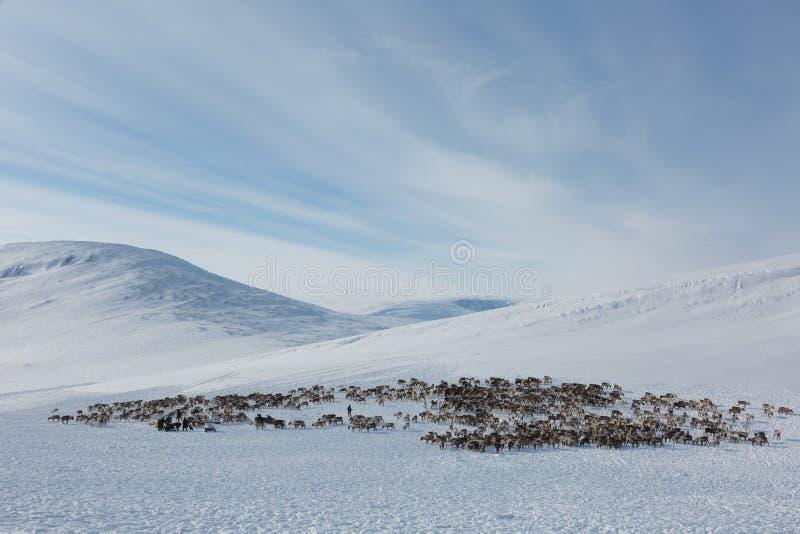 Le renne frôlent sur le pâturage d'hiver photos libres de droits
