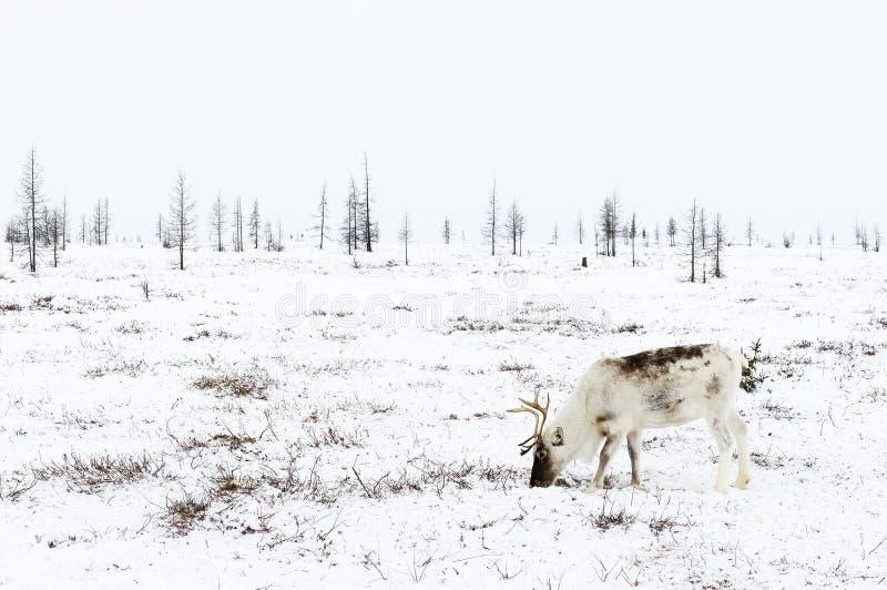 Le renne frôle dans la toundra tout près du cercle polaire à un jour d'hiver givré photos stock