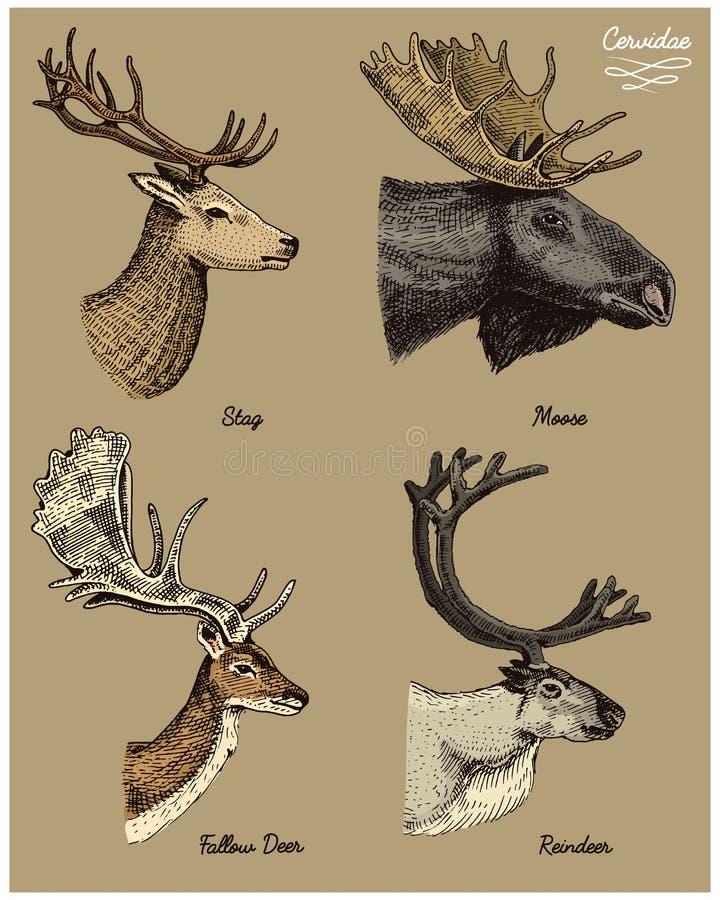 Le renne, les orignaux, les élans eurasiens, les cerfs communs d'oeufs de daine et le mâle dirigent l'illustration tirée par la m illustration libre de droits