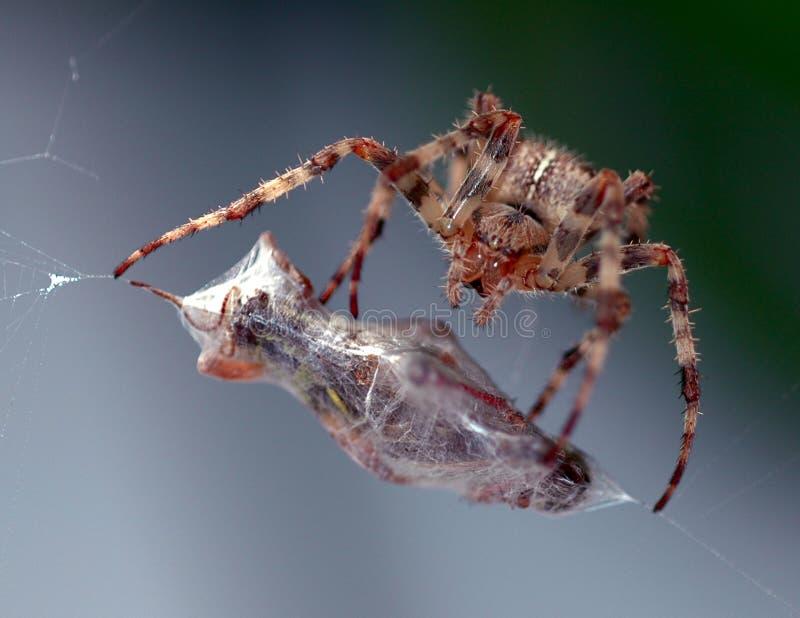 Le repas de l'araignée photo stock
