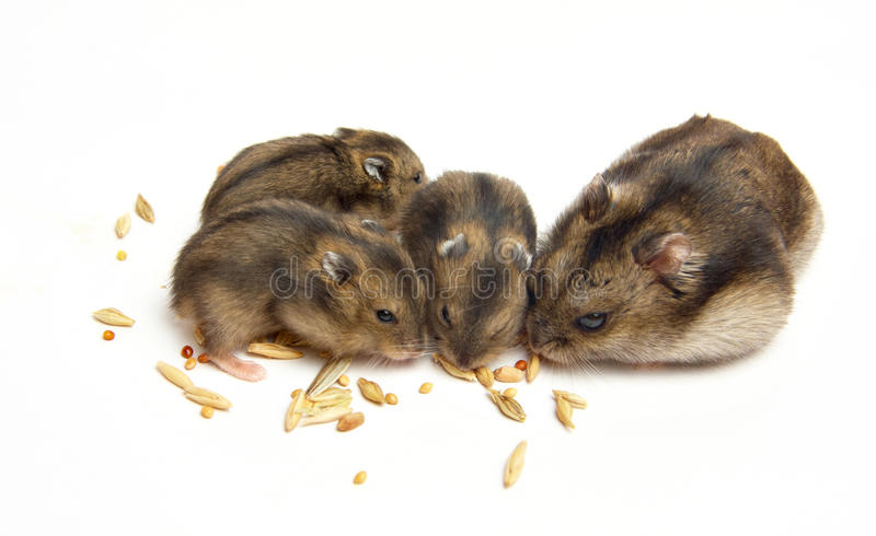 Le repas du hamster images libres de droits