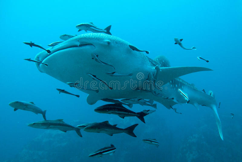 Le requin de baleine nage plus de photo stock