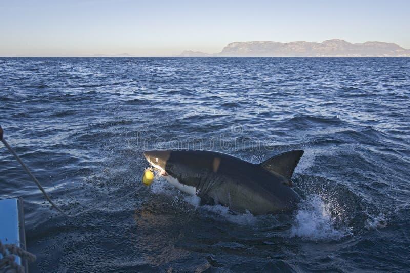 Le requin qui nous a attaqués du bateau à Cape Town images libres de droits