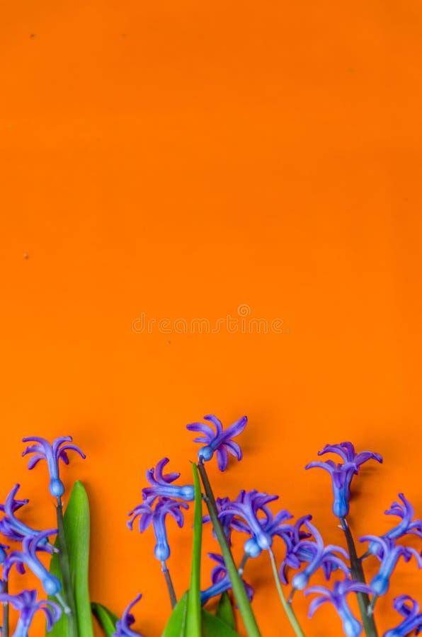 Le ressort bleu fleurit avec les feuilles vertes sur un fond orange image libre de droits