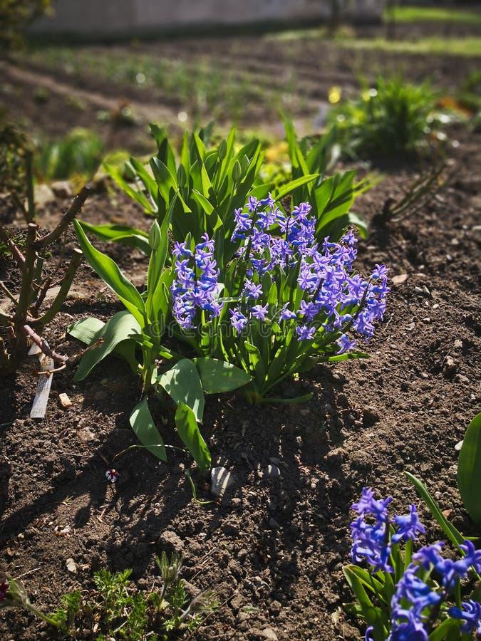 Le ressort est venu et les fleurs de ressort se développent photos libres de droits