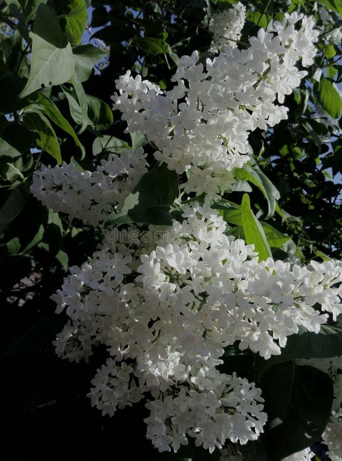 Le ressort est venu Le lilas a fleuri image libre de droits