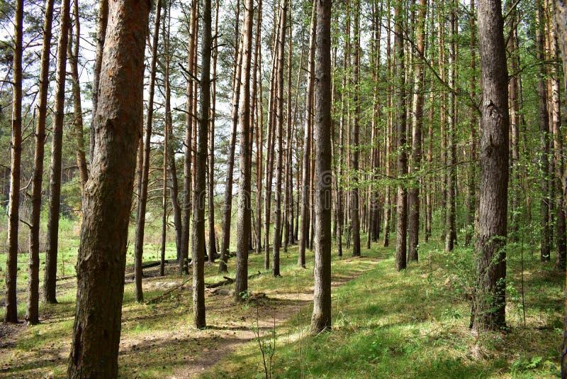 Le ressort et l'été est le meilleur moment pour la forêt de pin photos stock