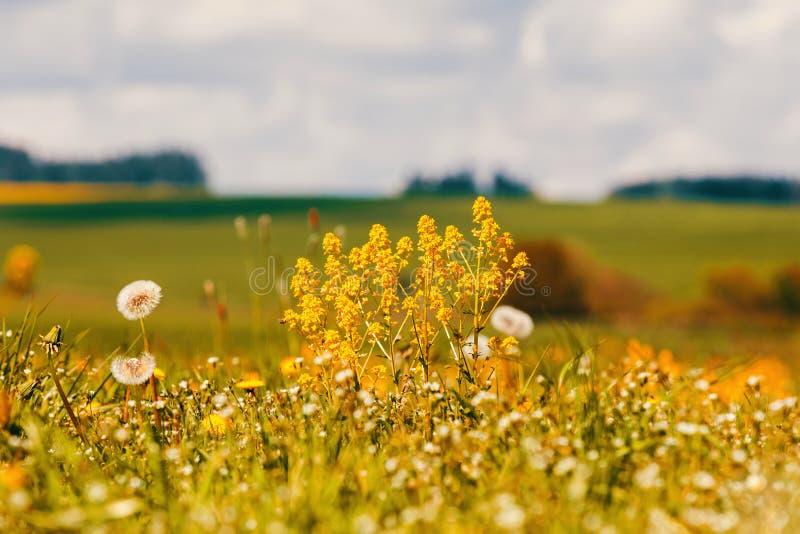 Le ressort fleurit des pissenlits dans le pré, scène de printemps image stock