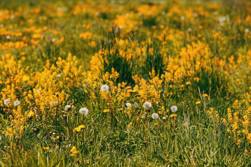 Le ressort fleurit des pissenlits dans le pré, scène de printemps photographie stock
