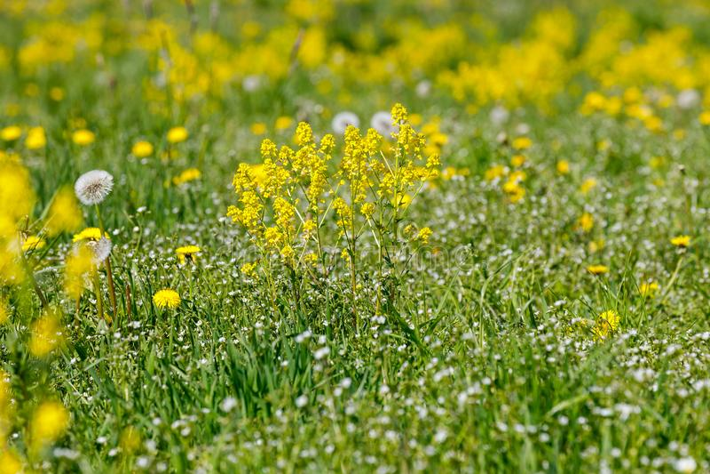 Le ressort fleurit des pissenlits dans le pré, scène de printemps images libres de droits