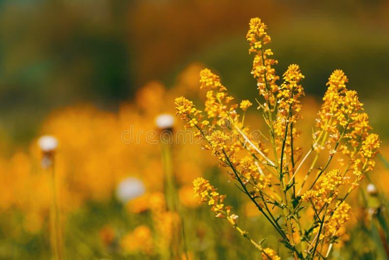 Le ressort fleurit des pissenlits dans le pré, scène de printemps photos stock