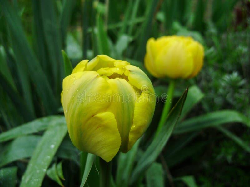 Le ressort fleurit la bannière de la fleur jaune de tulipe Fond de tulipes de fleur Belle vue des tulipes jaunes et de la lumière photographie stock libre de droits