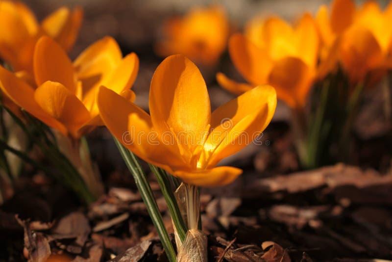 Le ressort fleurit le jaune photographie stock