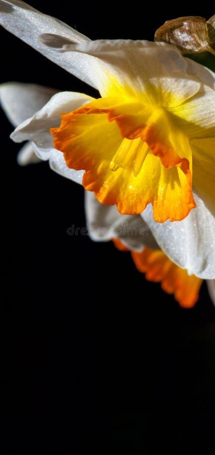 Le ressort fleurit le narcisse une belle jeunesse qui a rejeté le nym photos libres de droits