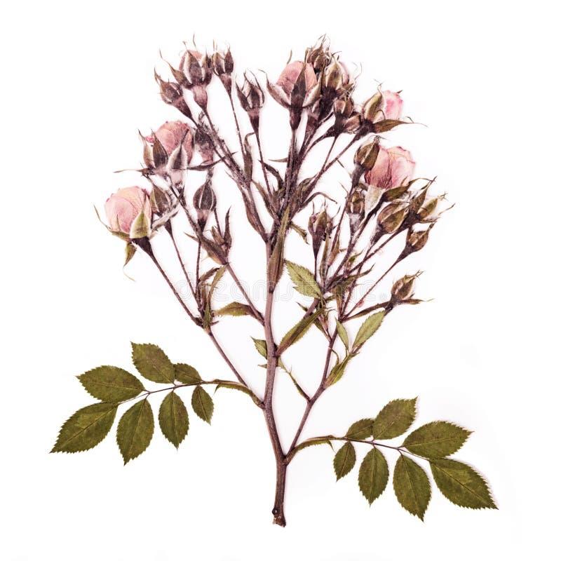Le ressort a monté modèle de fleurs sur le fond blanc photographie stock libre de droits
