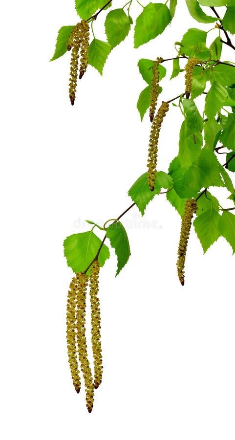 Le ressort se développe bouleau d'arbre avec de jeunes feuilles vertes image stock
