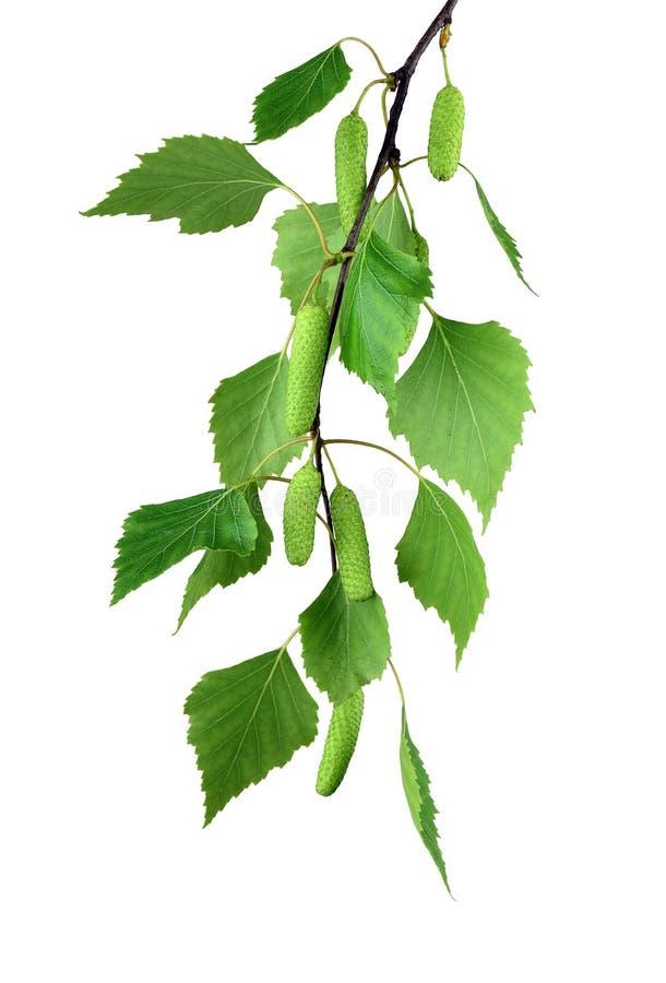 Le ressort se développe bouleau d'arbre avec de jeunes feuilles vertes /isolated/ photographie stock libre de droits