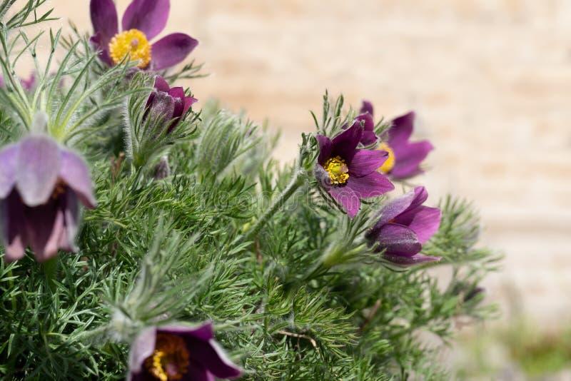 Le ressort violet Pâques fleurit des patens de Pulsatilla photographie stock