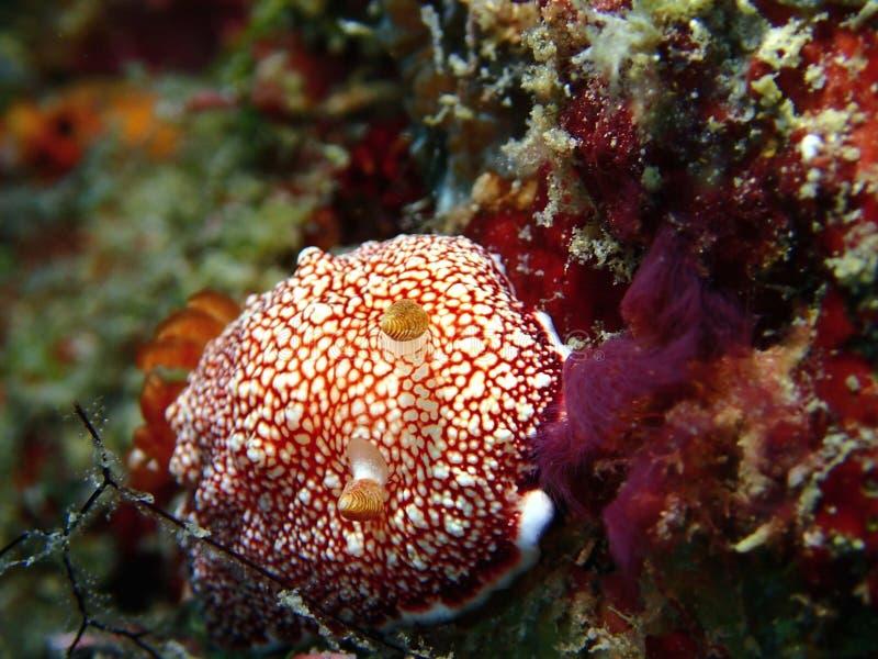 Le reticulata de Chromodoris de nudibranch pendant un piqué de loisirs en île de Mabul, Semporna, Tawau Sabah La Malaisie, Born?o image libre de droits