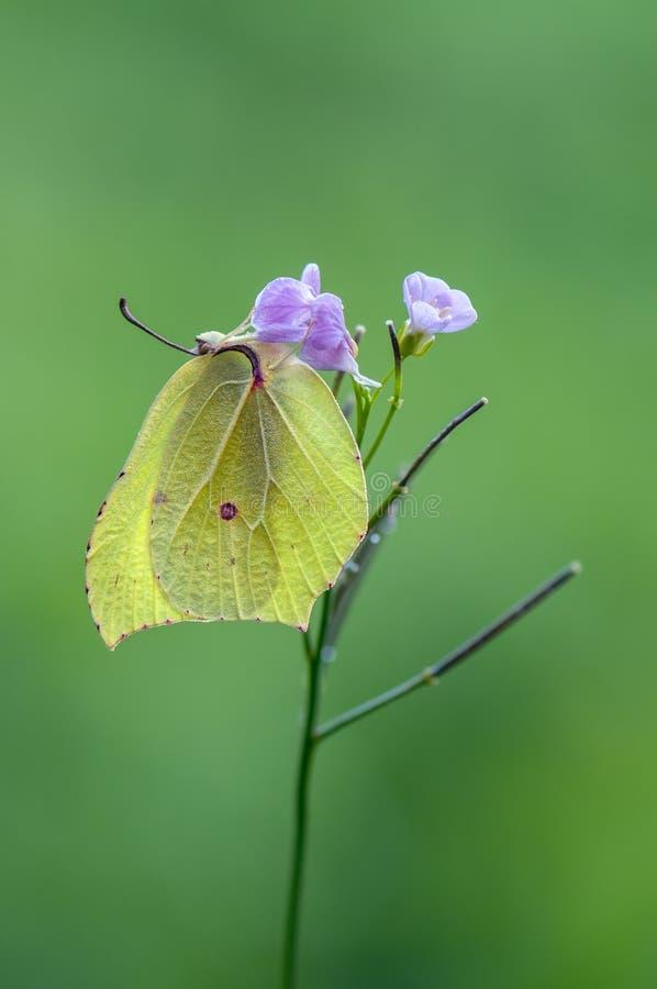 Le rhamni de Gonepteryx est un papillon journalier image libre de droits