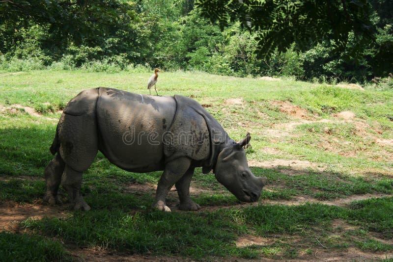 Le rhinocéros photo libre de droits