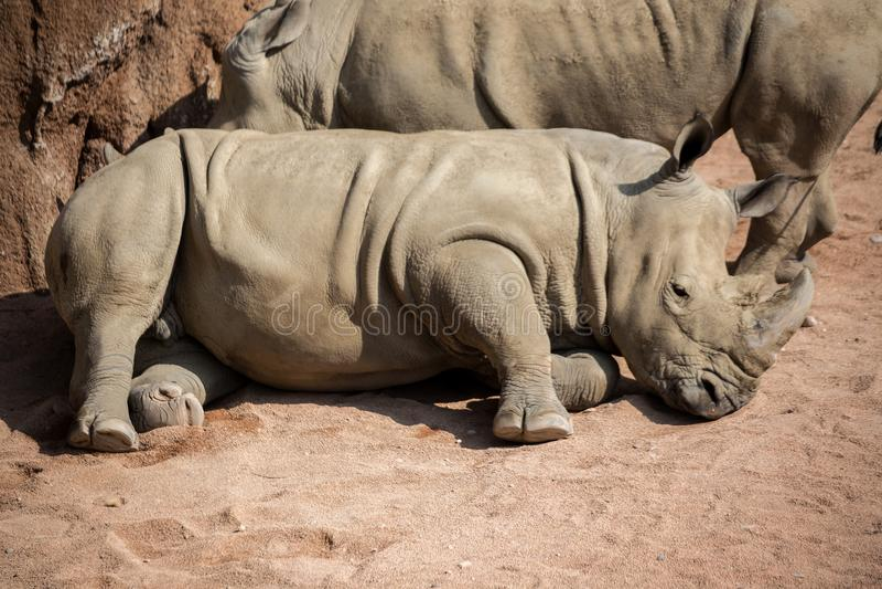 Le rhinocéros se couche dans la poussière photos libres de droits
