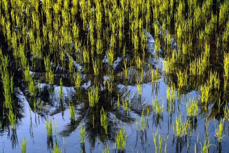 Le risaie chiudono il paesaggio della natura fotografia stock libera da diritti
