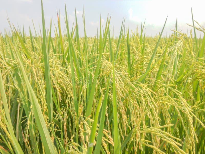 Le risaie si avvicinano ai colori del raccolto fotografie stock