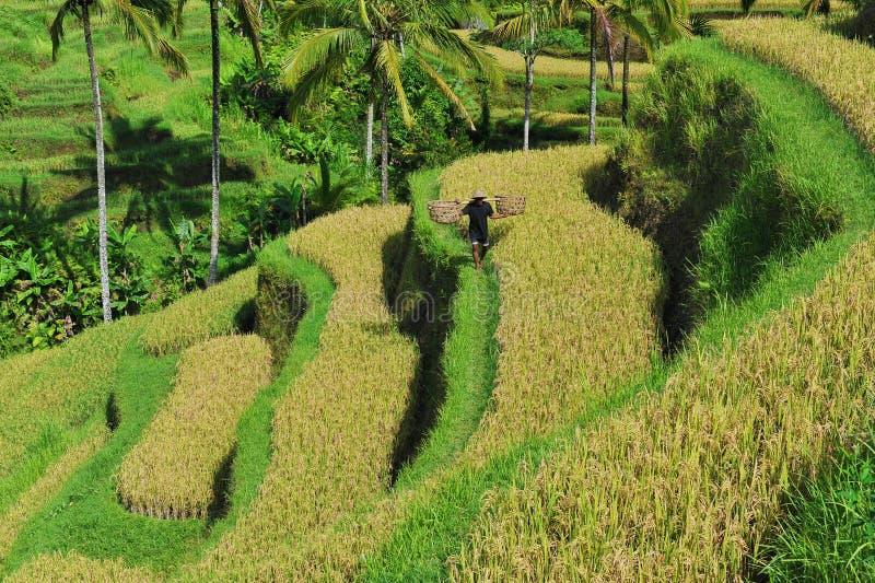 Le riz de terrasse met en place pendant le matin, Ubud, Bali images stock