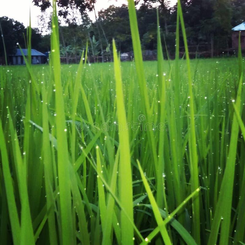 Le riz est la vie photos libres de droits